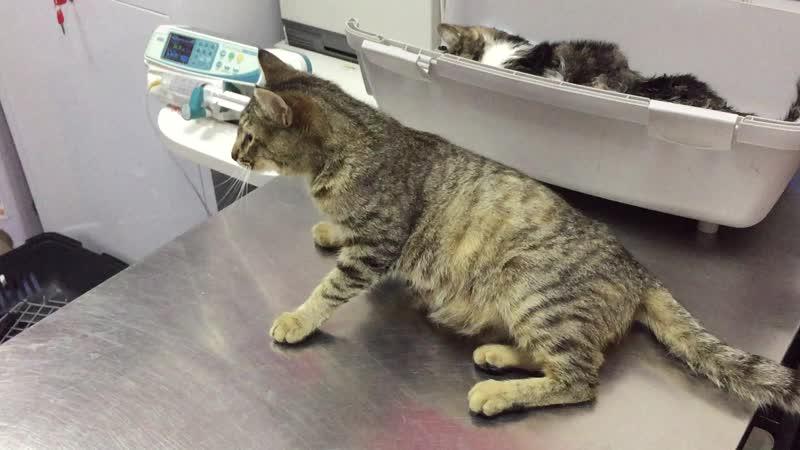 Кошка -вскрывшийся гнойник+стерилизация.