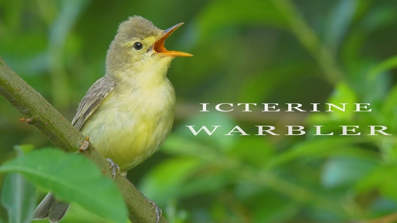 Icterine warbler - the best european mockingbird. Singing bird.