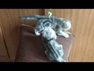 Продаем вислоухих котят Казань.