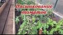 Пасынкование томатов Бычьего сердца, как я это делаю для хорошего и обильного урожая