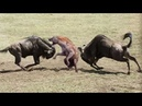 Amazing Newborn Wildebeest Escape From Hyena Hunt, The Power of Mother Animals