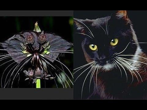 Такка Цветок дьявола