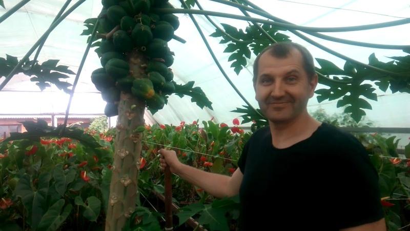 Крупноплодный ананас, подрезка папайи, инжир.