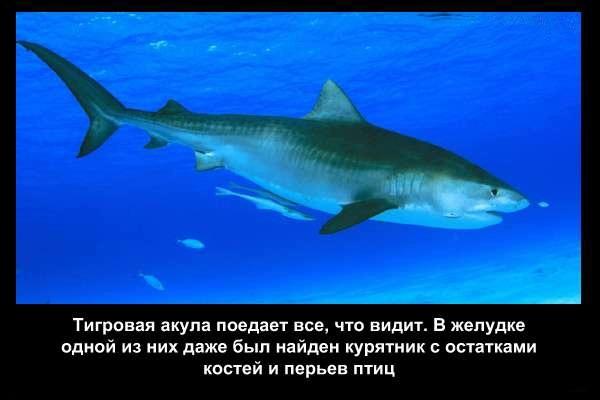 Valteya - Интересные факты о акулах / Хищники морей.(Видео. Фото) - Страница 2 PIKIXRhlJns