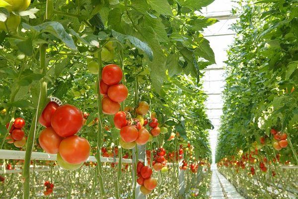 Почему в теплице на томатах образуются трещины