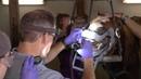 Стоматология у лошадей Equine Dentistry