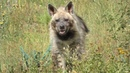 Симоооона - королева красоты. Среди гиен :) Тайган. Queen of beauty among hyenas :) Taigan.