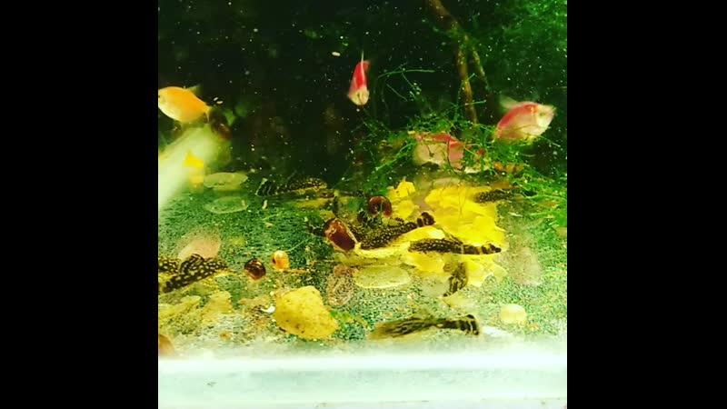 Сомики анцитрусы. Рыбки орск, новотроицк, гай.mp4