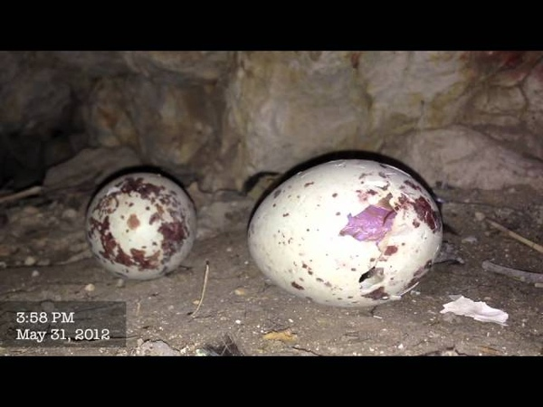 Baby Vulture Hatching!