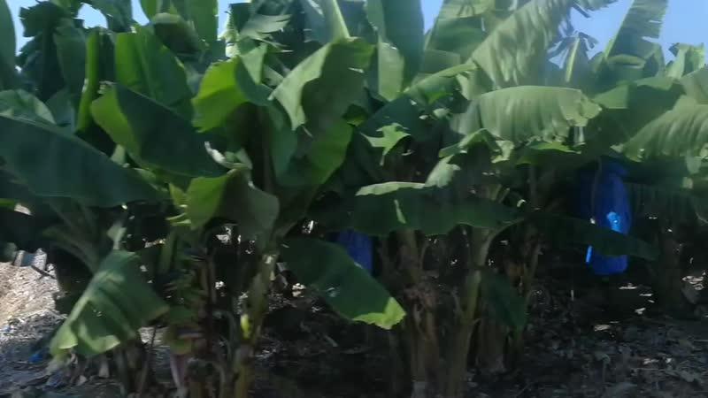 Кипр. Банановая плантация