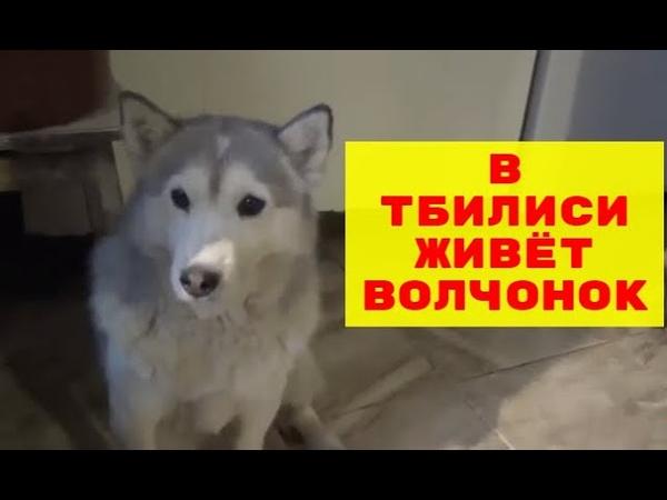 Теона и Шалва Волчонок