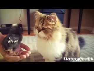 Манчкин - порода кошек. Munchkin cat Выпуск 1