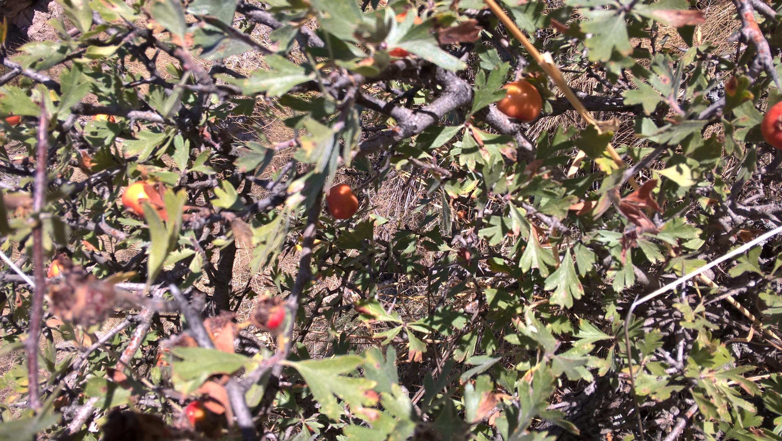 дикие ягоды-фрукты на Кавказе и Турции