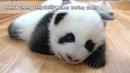 Panda ChengFengFalls AsleepDuring Class iPanda