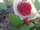 Костяника Rubus saxatilis Сбор костяники Костяника и плоды ландыша Июль 2017