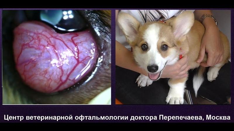 Киста конъюнктивальной железы у щенка вельш корги
