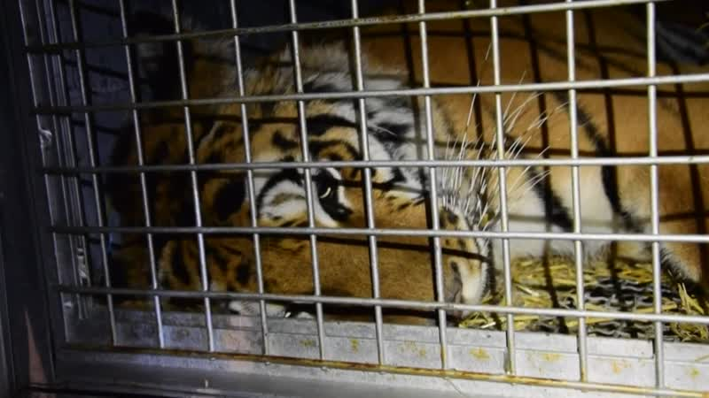 Weite Reise für gerettete Tiger