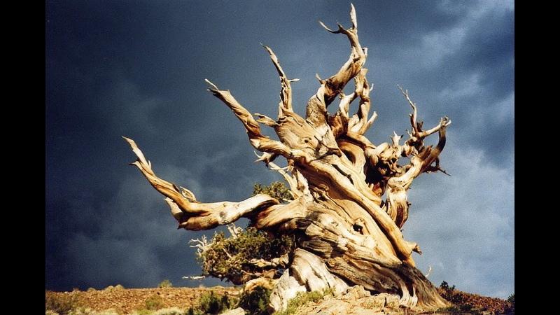 Самый старый организм на Земле Bristlecone Pine Great Basin NP USA