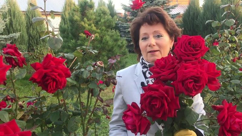Сравнение розы Супер Гранд Аморе Super Grand Amore Rose с другим сортом