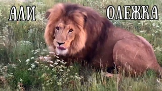 ❤️Лев АЛИ(ОЛЕЖКА).Он ушёл,но остался в моём сердце навсегда. Спасибо настоящему другу! Life of lions
