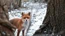 Какая ты хорошенькая! : жительница Нового Уренгоя встретила лису в центре города