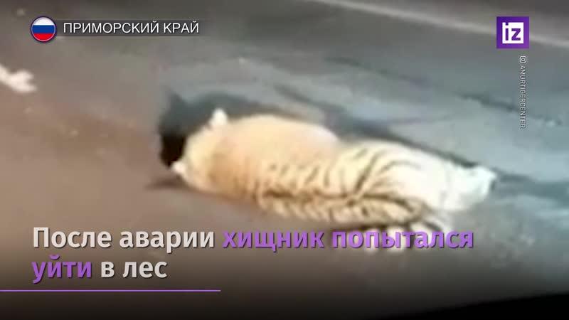 Полиция Приморья начала проверку по факту гибели амурского тигра
