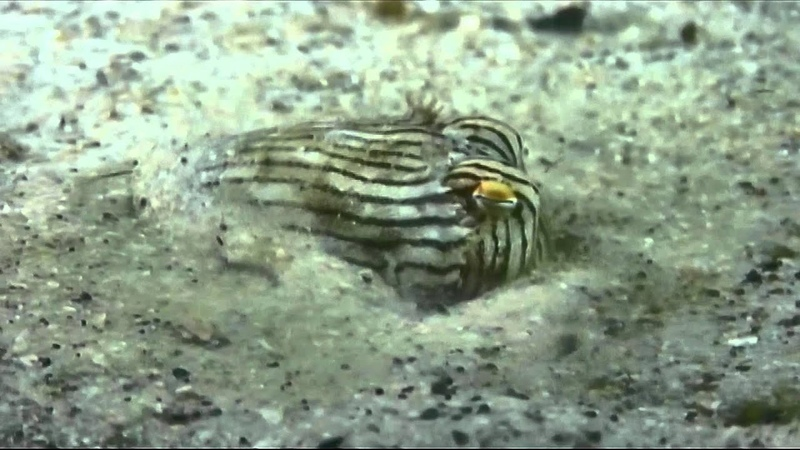 Scuba Dive Sydney - Striped Pyjama Squid – Sepioloidea lineolata