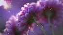 Исцеляющая Омолаживающая Мелодия, Цветовой Настрой Красоты, Хризантемы в цвету