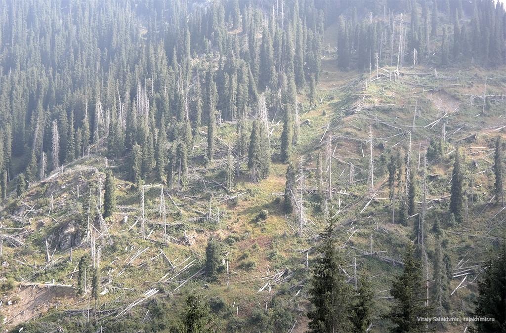 Поваленные деревья по дороге на Кок-Жайляу, Алматы 2019