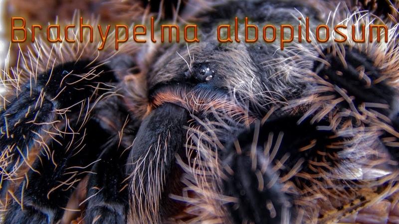 Мой первый птицеед Brachypelma albopilosum