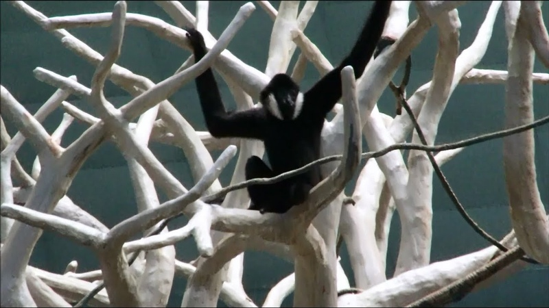 Gibbon Ape Swinging Fast Showing Off Checking To See If Everyone Is Watching
