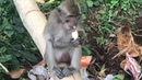 Обезьяны на острове Ломбок_Monyet di Pulau Lombok Kuta Lombok_Life of Monkeys in Lombok_Indonesia