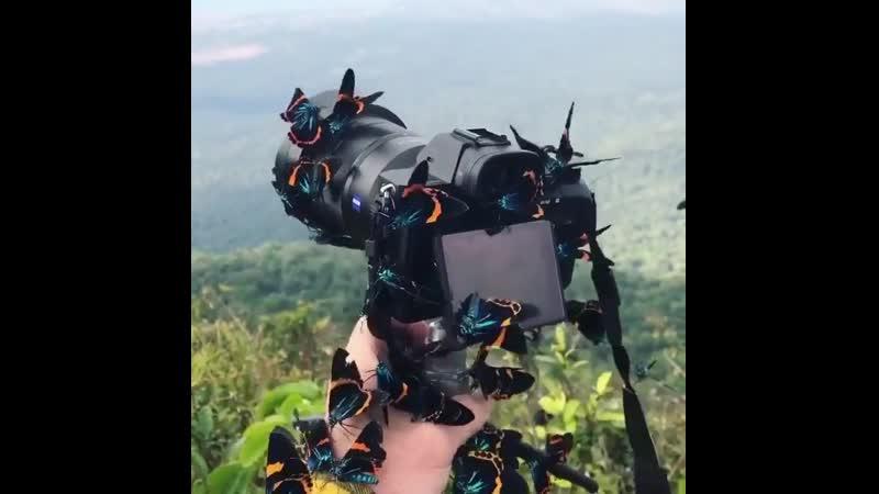 Бабочки Милионии облепили камеру