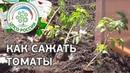 Как посадить томаты в открытый грунт. Выращивание помидоров.