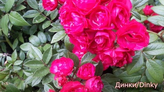 Мускусные и персидские розы в Питомнике роз от Татьяны. Внешний вид саженцев. Цветения.