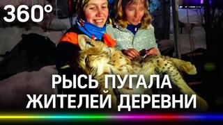Рысь уселась на дереве и пугала жителей деревни - дикую кошку усыпили и спасли