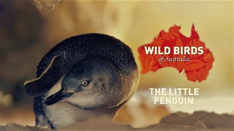Дикие птицы Австралии Малый пингвин