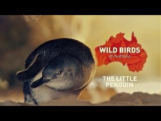 Дикие птицы Австралии: Малый пингвин