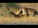 Охота на льва зебра