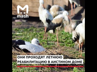 Под Псковом принимают аистов на зимовку