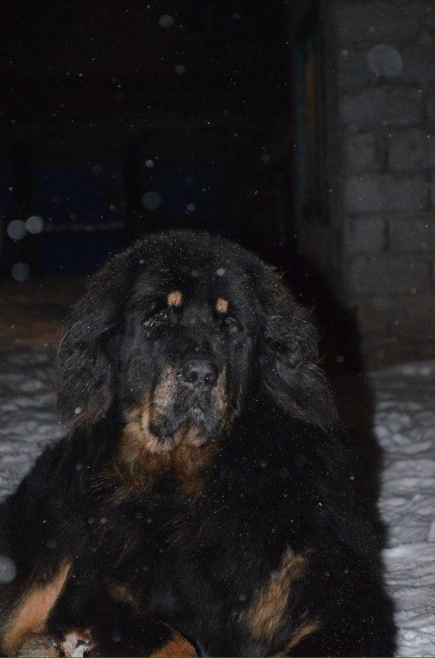 НикитА (Тибетский мастиф, девочка),  Владелица: Анна