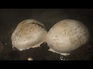 Сокровище грибницы: как в Абхазии начали шампиньоны выращивать