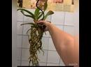 Видео от Сортовые орхидеи и комнатные растения по России