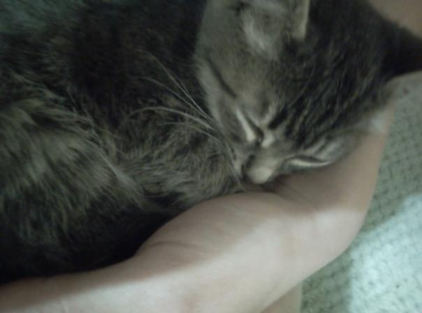 Отдам в добрые руки котят от тайской кошки. Две де...