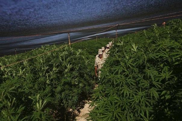 В Мексике обнаружена крупнейшая в истории плантация марихуаны.
