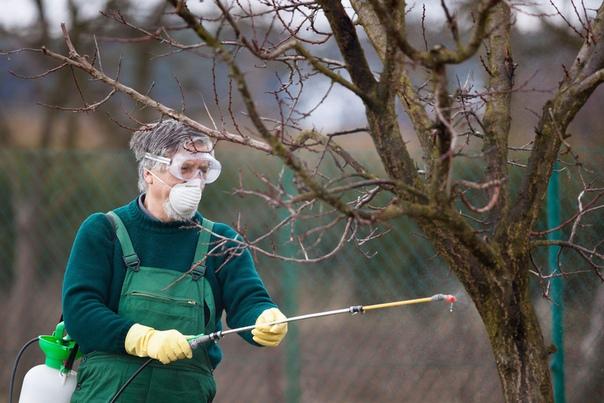 Способы защиты грушевых деревьев.