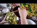 Старинный рецепт заготовки грушек 🍐🍐🍐! Готовим дома! Мочёные груши! Бабушкина кухня!