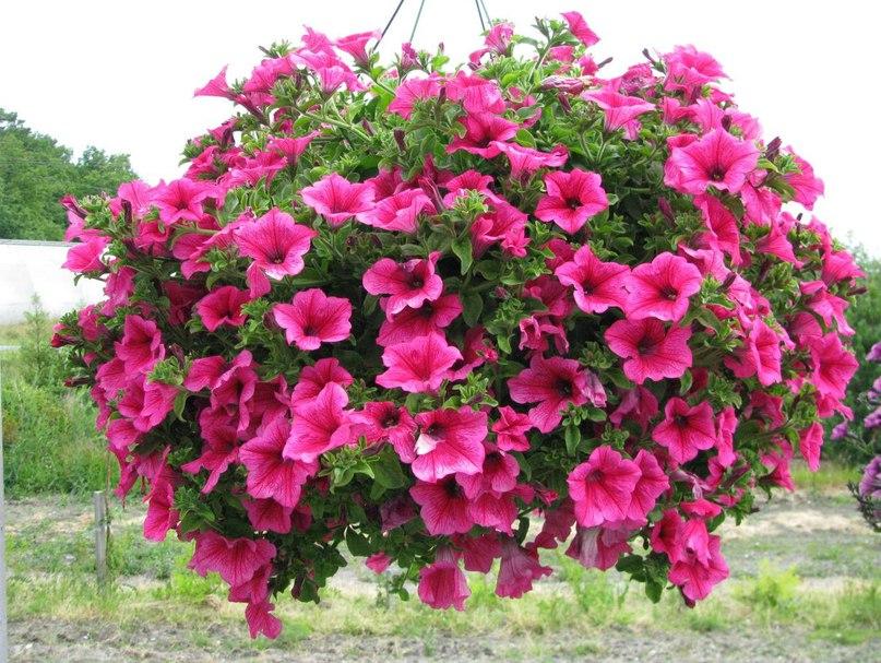 Сурфиния Hot Pink розовая ампельная