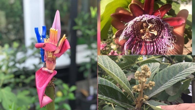Банан бархатный Musa velutina пассифлора мушмула