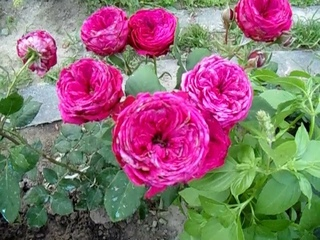 Саженцы роз BUONROZA обзор